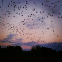 Bats feeding in Texas Hill Country *August 2012*